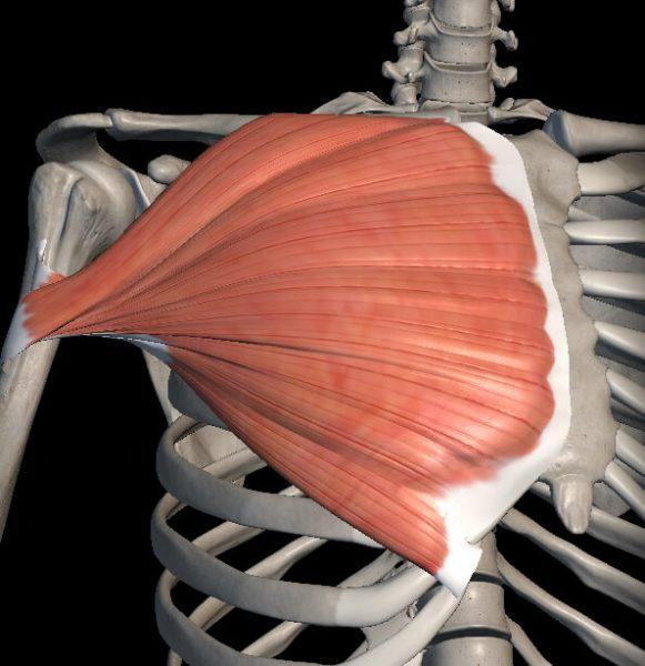 骨格と胸の筋肉の解剖図