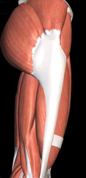 骨格模型と下半身の筋肉