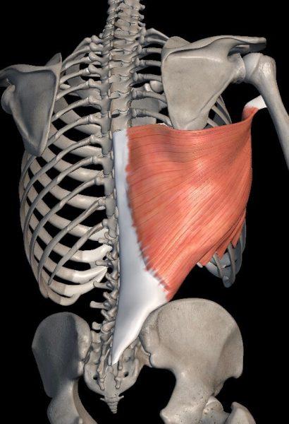 骨格と背中の筋肉の解剖図