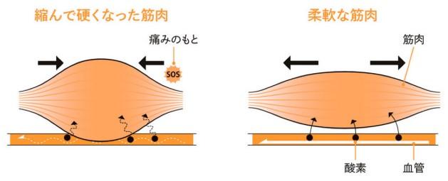 左右に並ぶ筋繊維の図