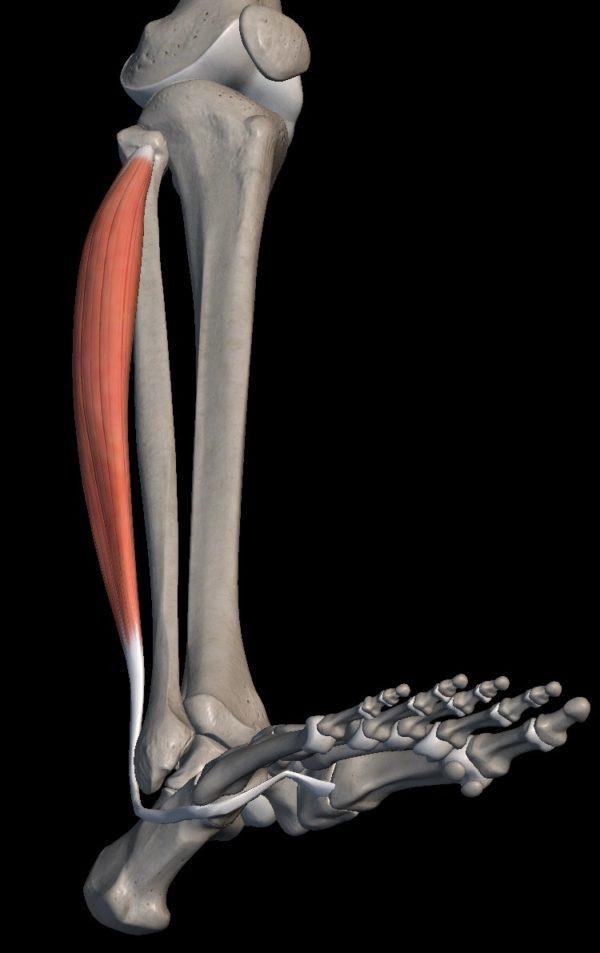 脛の骨と骨の横についている筋肉