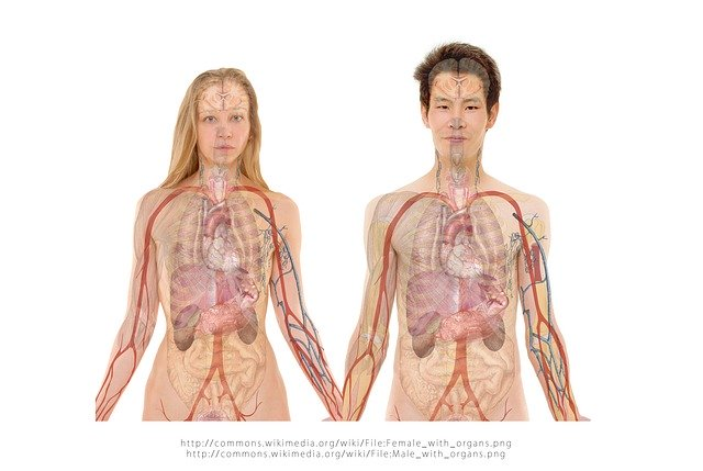 内臓と骨格が透けて見える男性と女性