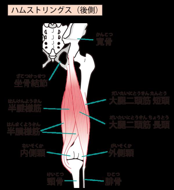 ハムストリングスの解剖図