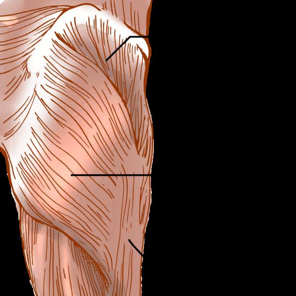 大殿筋の解剖図