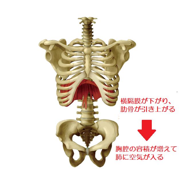 胸郭と骨盤のイラスト